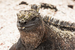 Closeup of a marine iguana covered with sand particles. Royalty Free Stock Images