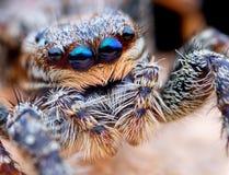 Closeup of Marpissa muscosa jumping spider. Closeup of Marpissa muscosa jumping spider on the leaf Stock Photography