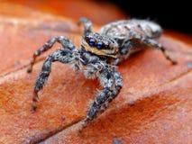 Closeup of Marpissa muscosa jumping spider. Closeup of Marpissa muscosa jumping spider on the leaf Royalty Free Stock Image