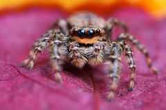 Closeup of Marpissa muscosa jumping spider. On the leaf Royalty Free Stock Photos