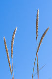 Closeup of marram grass or beachgrass (Ammophila arenaria) Stock Photo
