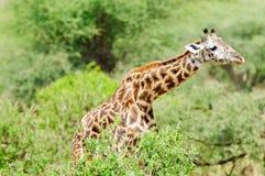 Giraffa camelopardalis tippelskirchi. Closeup of Masai Giraffe scientific name: Giraffa camelopardalis tippelskirchi or `Twiga` in Swaheli image taken on Safari Royalty Free Stock Photography