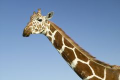 Closeup of Masai Giraffe stairs into camera at the Lewa Wildlife Conservancy, North Kenya, Africa Stock Image