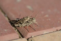 Closeup of mating grasshoppers Royalty Free Stock Photography