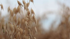Closeup of mature barley. The field of mature barley and the sky Stock Photos