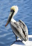 Closeup of a Mature Brown Pelican On a Dock Royalty Free Stock Images