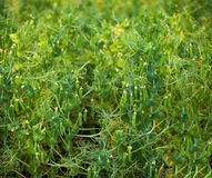 Closeup of mature pods with garden peas Stock Photos