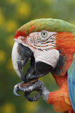 Closeup of a Maui Sunrise Macaw Royalty Free Stock Photos