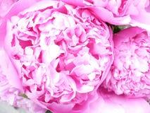 Closeup mauve Peonies stock photo