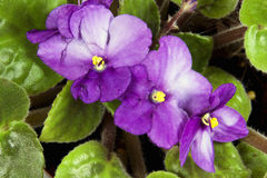 Closeup of Mauve and White African Violet Flowers Royalty Free Stock Images