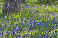 Closeup meadow of blue camas wildflowers with oak tree Stock Photos