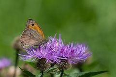 Closeup of a meadow brown butterfly sitting on a flower. Closeup of a meadow brown butterfly Maniola jurtina, Nymphalidae sitting on a flower stock images