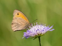 Closeup of a meadow brown butterfly sitting on a flower. Closeup of a meadow brown butterfly Maniola jurtina, Nymphalidae sitting on a flower royalty free stock photos