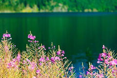Closeup of meadow violet flowers. Wildflower on lake Stock Images