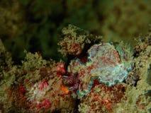 Closeup med den härliga färgnudibranchGloossodoris cinctaien Skönheten av undervattens- världsdykning i Sabah, Borneo arkivbilder