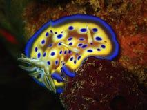 Closeup med den härliga nudibranchGoniobranchus kunieien Skönheten av undervattens- världsdykning i Sabah, Borneo arkivbild