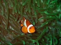 Closeup med den härliga västra clownfisken eller anemonfisken Skönheten av undervattens- världsdykning i Sabah, Borneo royaltyfria bilder