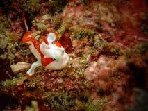 Closeup med den waty frogfishen i den Mabul ön, Sabah städer royaltyfria bilder