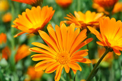 Closeup of a medical  marigold flowers (Calendula officinalis) Royalty Free Stock Photos