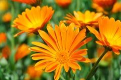 Closeup of a medical  marigold flowers (Calendula officinalis) Royalty Free Stock Photos