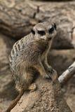 Closeup on a Meerkat Royalty Free Stock Photo