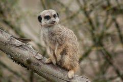 Meerkat standing on branch. Closeup of meerkat standing on branch stock images