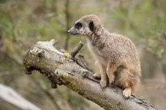 meerkat standing on branch stock photo