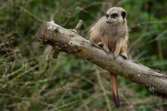 Meerkat standing on branch. Closeup of meerkat standing on branch royalty free stock photo