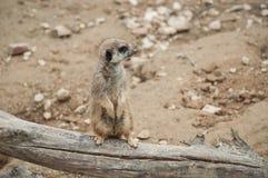 Meerkat standing on branch. Closeup of meerkat standing on branch royalty free stock images