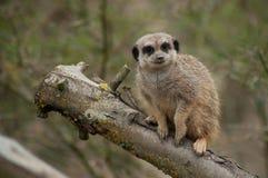Meerkat standing on branch. Closeup of meerkat standing on branch stock photography