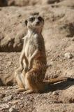 Meerkat standing on the land. Closeup of meerkat standing on the land stock photography