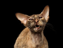 Closeup Meowing Peterbald Sphynx Cat on Black Royalty Free Stock Image