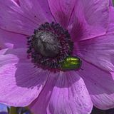 Green Chafer Beetle on a Purple Anemone Flower royalty free stock photo