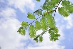 Closeup of metasequoia leaves royalty free stock photo