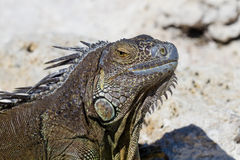 Closeup of a mexican Iguana Royalty Free Stock Photography