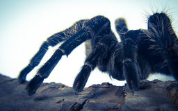 Closeup of mexican spider -tarantula brachypelma albopilosum Royalty Free Stock Images