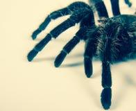 Closeup of mexican spider -tarantula brachypelma albopilosum Stock Images