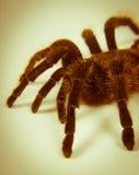 Closeup of mexican spider -tarantula brachypelma albopilosum Royalty Free Stock Photos