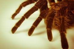 Closeup of mexican spider -tarantula brachypelma albopilosum Stock Photos