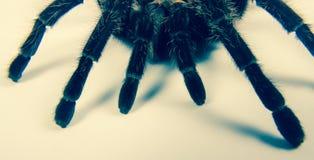 Closeup of mexican spider -tarantula brachypelma albopilosum Stock Image