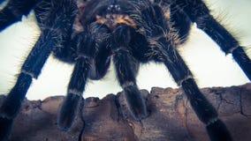 Closeup of mexican spider -tarantula brachypelma albopilosum Stock Photography