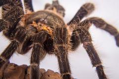 Closeup of mexican spider -tarantula brachypelma albopilosum Royalty Free Stock Photography