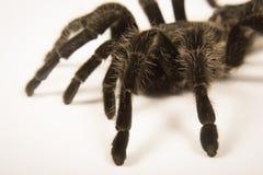Closeup of mexican spider -tarantula brachypelma albopilosum Stock Photo