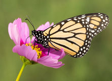 Closeup of a migrating Monarch butterfly Royalty Free Stock Photo