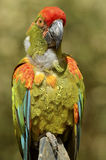 Closeup military macaw Royalty Free Stock Photo