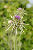 Closeup of milk thistle flower, with snail Royalty Free Stock Photos