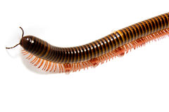 Closeup of a millepede, struggling Royalty Free Stock Images