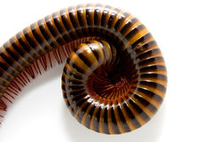 Closeup of a millepede, struggling Stock Images