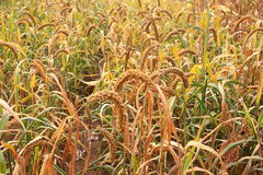 Closeup of millet plant in the field Royalty Free Stock Image