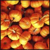 Closeup of Mini Pumpkins  Royalty Free Stock Images